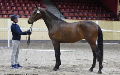 Califfa högst bedömda häst någonsin på treårstest!